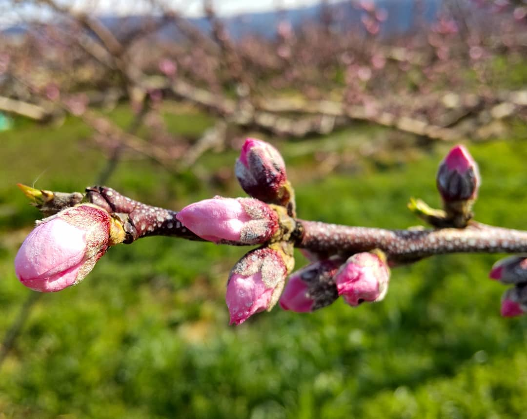 もも咲く今年もこの季節がやってきました。昨年同様の早さですね〜#もるもっとワイン#モルモットワイン #ヴィンヤードキクシマ