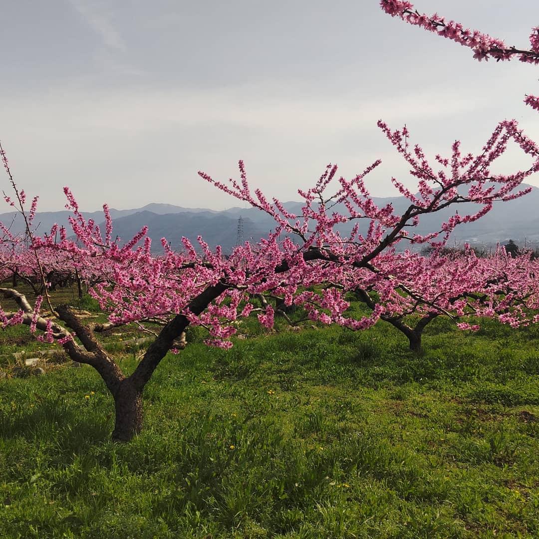 桃全開です。花冷えもなく暑い日が続いていることもあり下界は桃の花、全開です。桜もいいですが桃の花は艶やかで良いです。(加納岩周辺)#もるもっとワイン#モルモットワイン#ヴィンヤードキクシマ#まだまだ勉強#畑が終わらない#あと1ヶ月欲しい