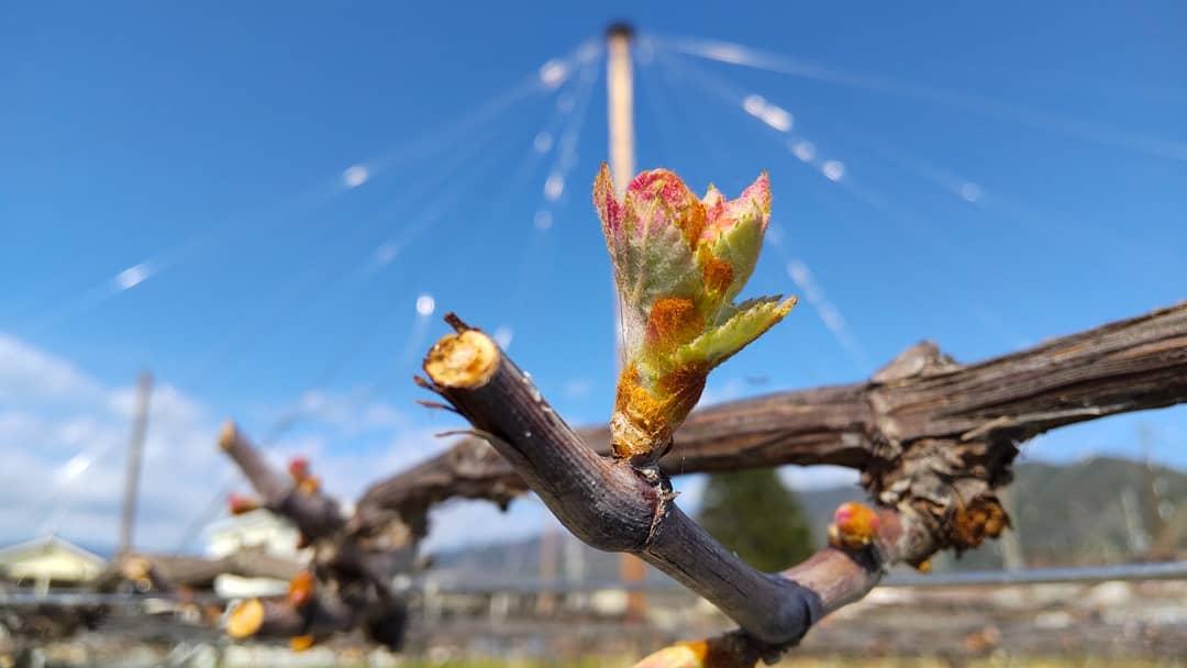 マスカットベリーA芽が出ました!#あと1ヶ月欲しい#モルモットワイン#もるもっとワイン#ヴィンヤードキクシマ