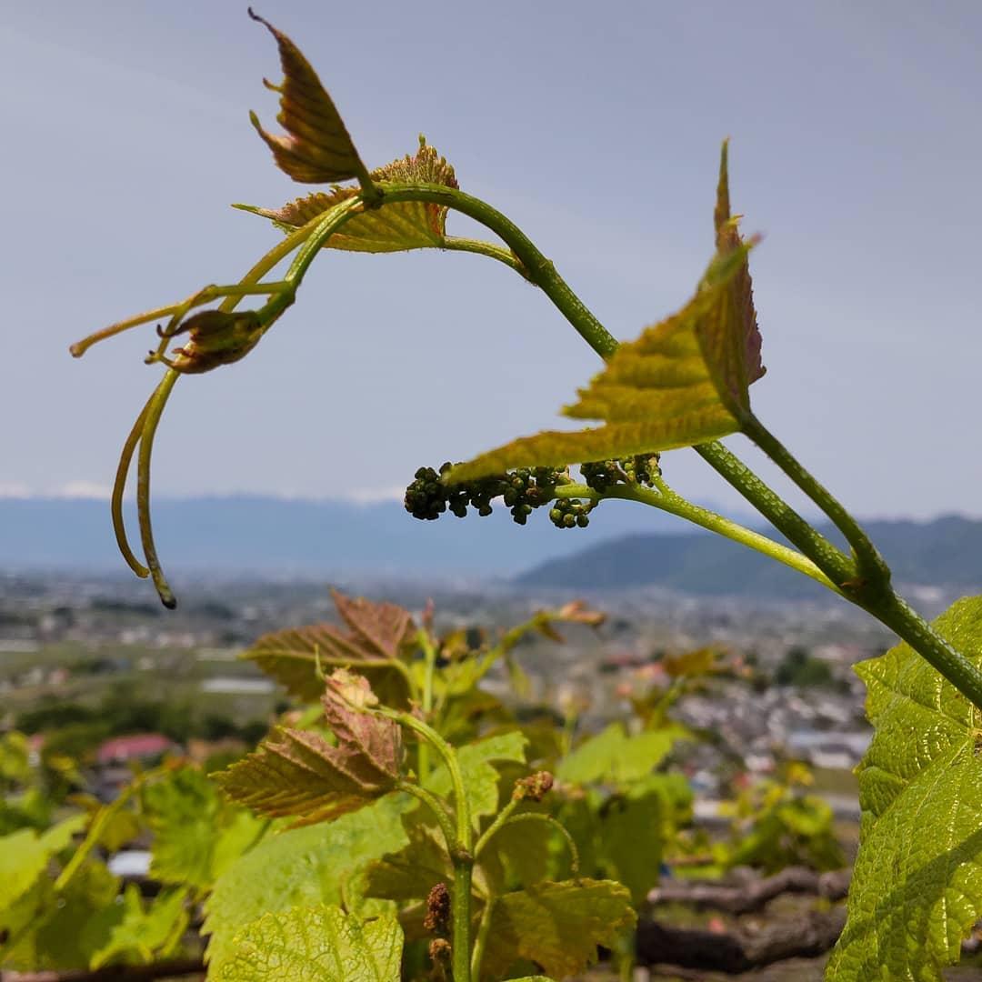 展葉後の消毒開始山のデラも展葉4〜6枚となり、ここのところ少し朝晩寒かったこともあり例年より少し早めに消毒開始。今年はどうなりますか。。。#ヴィンヤードキクシマ#もるもっとワイン#モルモットワイン